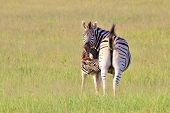 picture of mare foal  - Zebra  - JPG