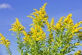 image of ragweed  - Blooming goldenrod plant on blue sky background - JPG