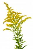 stock photo of goldenrod  - Blooming goldenrod plant isolated on white background - JPG