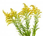 picture of goldenrod  - Blooming goldenrod plant isolated on white background - JPG