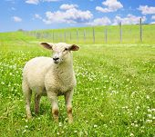 pic of spring lambs  - Cute funny sheep or lamb in green meadow - JPG
