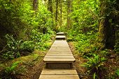 image of pacific rim  - Wooden path through temperate rain forest - JPG