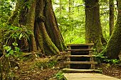foto of pacific rim  - Path through temperate rain forest - JPG