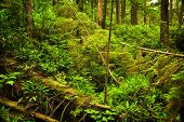 stock photo of pacific rim  - Lush foliage of temperate rain forest - JPG