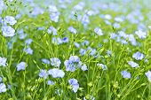 stock photo of flax plant  - Background of blooming blue flax in a farm field - JPG