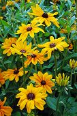 image of black-eyed susans  - Beautiful black eyed susan flower garden in summer - JPG