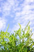 picture of hay fever  - Flowering ragweed plant in closeup against blue sky - JPG