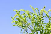 picture of ragweed  - Flowering ragweed plant in closeup against blue sky - JPG
