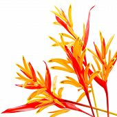 foto of heliconia  - Red and orange Heliconia flower - JPG