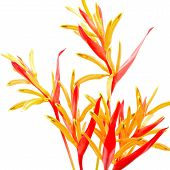 picture of heliconia  - Red and orange Heliconia flower - JPG