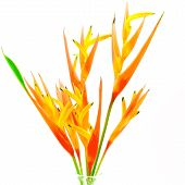 picture of heliconia  - Orange Heliconia flower - JPG