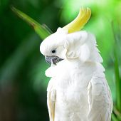 picture of cockatoos  - Beautiful white Cockatoo, Sulphur-crested Cockatoo (Cacatua galerita)