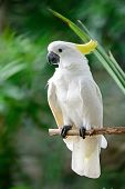 foto of cockatoos  - Beautiful white Cockatoo - JPG
