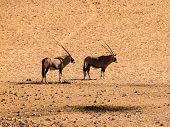 Two Oryx Antelopes