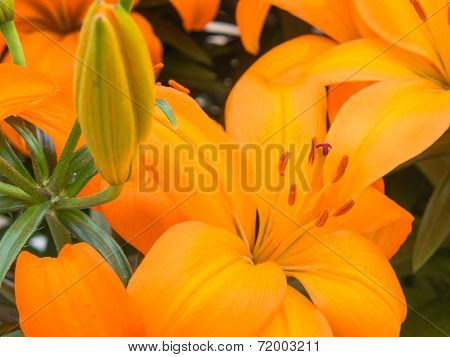 Close-up of orange lilies