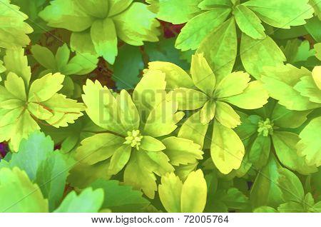 Pachysandra Terminalis Foliage Digital Processed