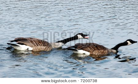 Angry Canada Geese