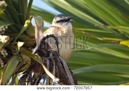 Chalk-browed Mockingbird Sitting Among The Green Branches With Open Beak
