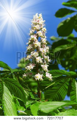 Chesnut flower with sun