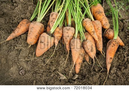 Dug Carrots Lying On The Arable Land