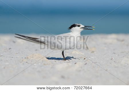 Sandwich Tern On Beach