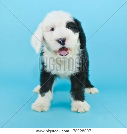 Talking Sheepdog Puppy