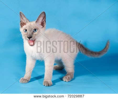 Curly Cornish Rex Kitten Standing On Blue