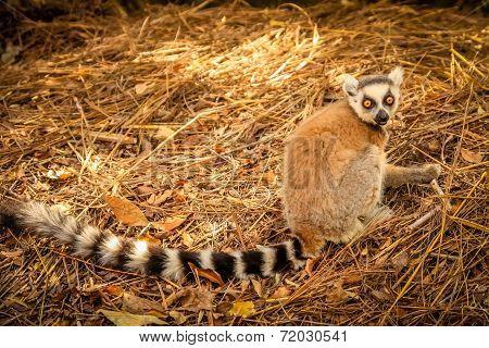 Lemur on the ground