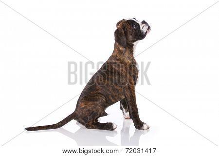 Boxer dog at studio