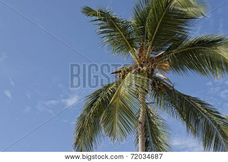 Palm Tree & Coconuts