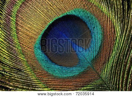 Beautiful exotic peacock feather