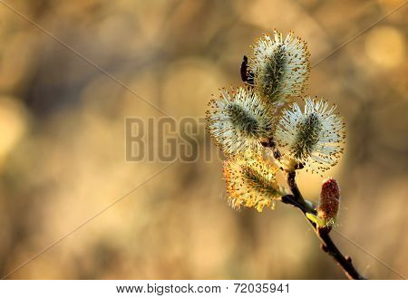 pussy willow branch in spring nature