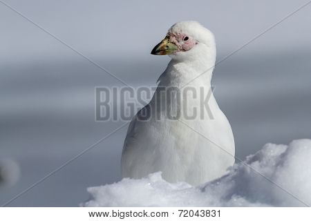 Portrait Of A Snowy Sheathbill Standing In Snow Winter Day
