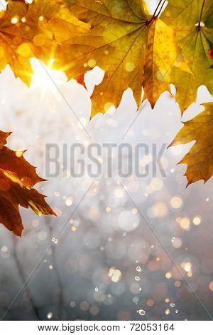 Art Yellow Autumn Maple Leaves Background