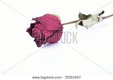 Dry Rose Isolated On White Background