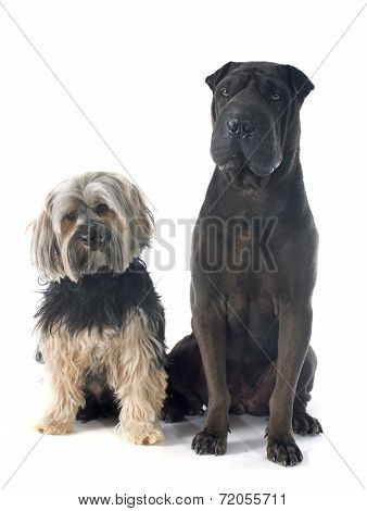 Shar Pei And Yorkshire Terrier