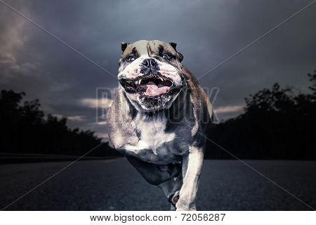 Running Bulldog Empty Road