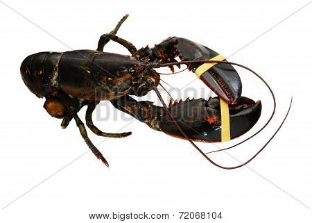 Live Lobster Isolated Over A White Background