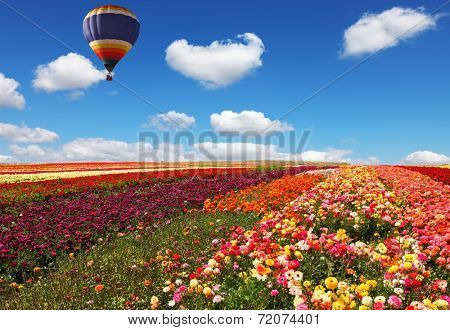 The huge balloon flying over colorful floral field. Flowers and seeds are grown for export in Israel kibbutz fields