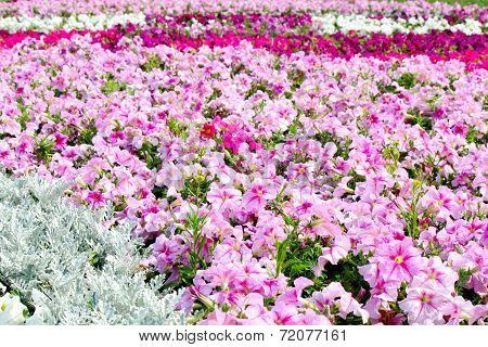 Beautiful Colorful Petunias On The Flower Field, Selective Focus