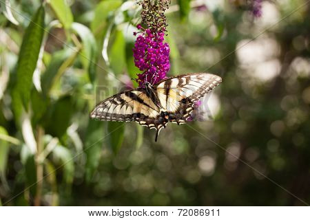 A Swallowtail Butterfly on Bush