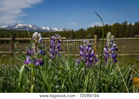 Lupine In Wyoming