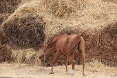 foto of haystacks  - Old horse of Russian Don breed near a big haystack - JPG
