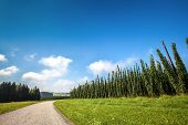 picture of bine  - Landscape with a ripening hop plants in a sunny day - JPG