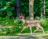 image of bucks  - Whitetail Deer Buck crossing a road with shedding velvet antlers - JPG