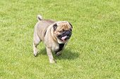 pic of walking dead  - Tired pug dog with hanging out tongue walks on lawn - JPG