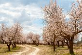 image of orchard  - Almond Tree Orchard in Blossom Southern Spain - JPG