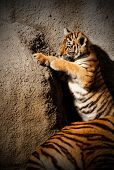 picture of tiger cub  - The tiger cub while climbing wall  - JPG