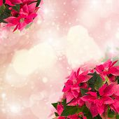 pic of poinsettia  - frame of pink poinsettia flower or christmas star  on pink bokeh  background - JPG