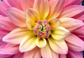 picture of ombre  - Ombre flower close up - JPG